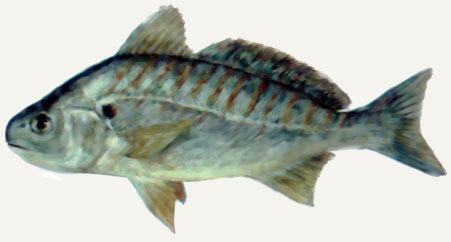 Pin name that fish on pinterest for What is the scientific name for fish